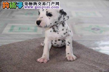 纯种斑点犬欢迎实地选购 完美售后 可签协议