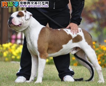 武汉自家养殖纯种美国斗牛犬低价出售请您放心选购