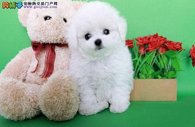 成都哪里有比熊卖,成都比熊怎么卖,成都比熊价格多少