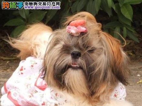 热销多只优秀的纯种西施犬幼犬均有三证保障