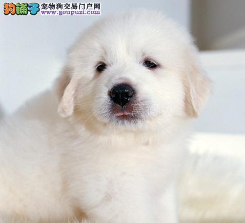 出售纯种大白熊幼犬3个月血统纯种 ,可上门!
