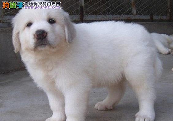 直销大白熊幼犬 自家繁殖保养活 可送货上门