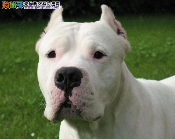 福州出售杜高犬颜色齐全公母都有签订协议包细小犬瘟热