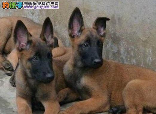 北京马犬出售 弹跳能力强看家本领大的马犬幼犬可挑选