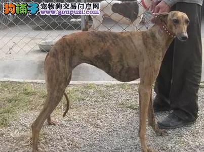 钦州专业繁殖灵缇幼犬格力犬可上门看狗售后有保障