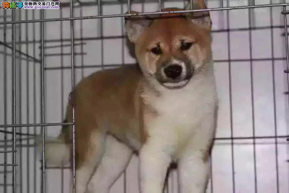纯种家养柴犬宝宝私人出售无任何中介!