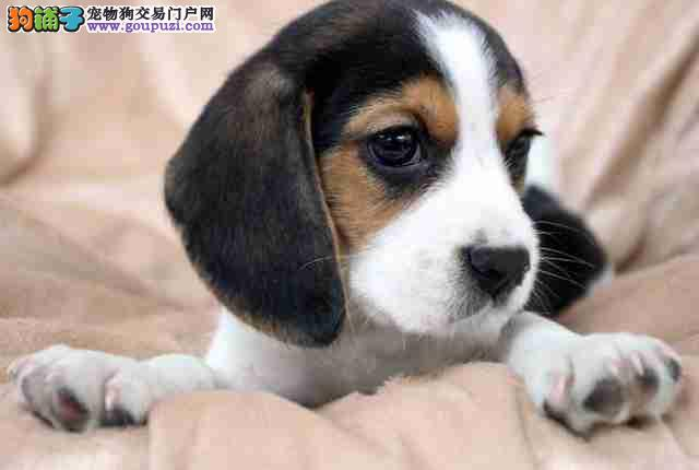 自家狗场繁殖出售顶级比格犬可多只挑选