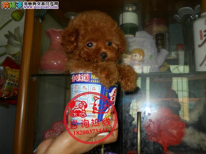 成都犬舍直销、纯种茶杯犬、茶杯型玩具型、签协议