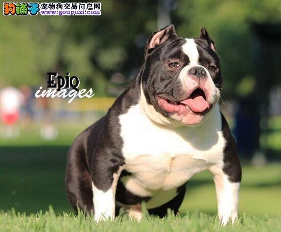 专业正规犬舍热卖优秀的武汉美国恶霸犬质量三包完美售后