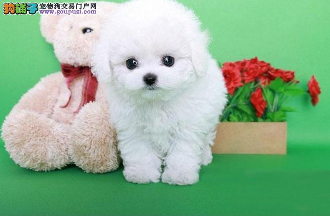 重庆哪里有比熊卖,重庆比熊怎么卖,重庆比熊价格多少