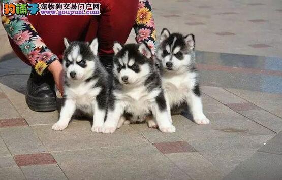 江门大型狗场,出售纯种哈士奇幼犬,包打疫苗