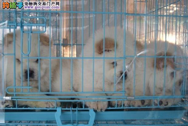 深圳买松狮去哪里深圳哪里有卖松狮
