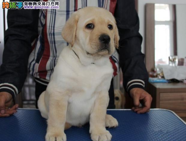 拉布拉多幼犬 黑黄白都有 多只可选 疫苗齐全 血统纯正