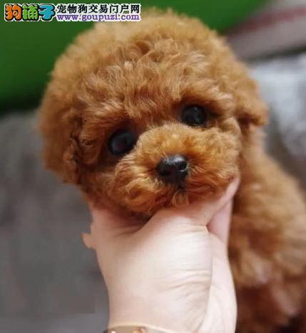 贵宾犬、贵妇犬、泰迪茶杯、玩具、巨型、迷你贵宾犬
