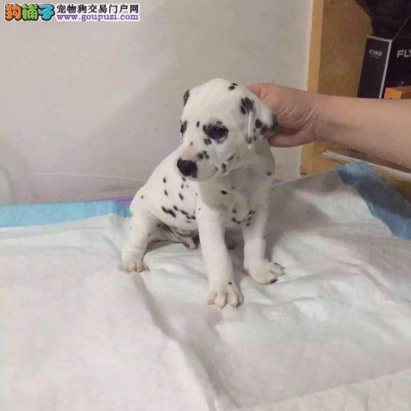 高品质 班点幼犬出售 疫苗做完 质量三包