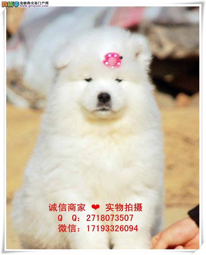 重庆萨摩出售多少钱,包纯包健康。萨摩图片