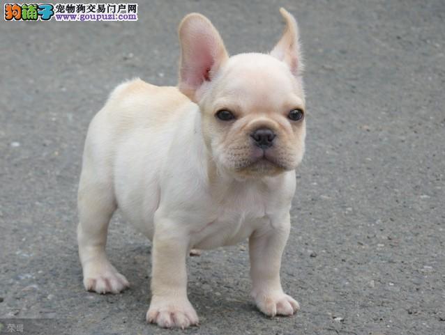 顶尖品质 出售纯种斗牛幼犬,健康双保