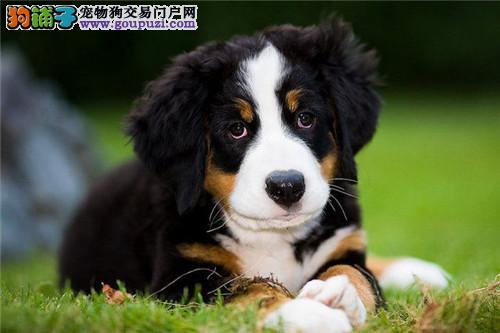 极品伯恩山在这里、优惠纯种和健康、CKU认证犬业