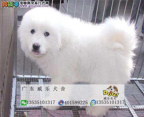 毛量超好 大头宽嘴品相一流大白熊幼犬 保健康纯种