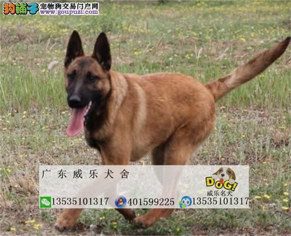 比利时马犬 动作灵敏 兴奋度高 警觉性强