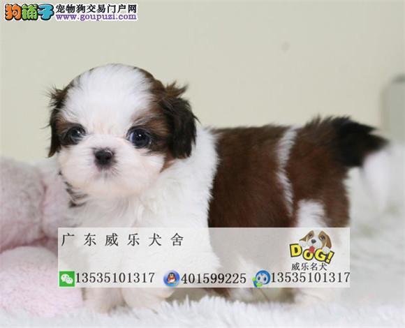 西施幼犬出售、最漂亮的狗狗、疫苗打好、健康保障
