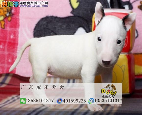 纯种赛级牛头梗猎犬 宠物活体迷你牛头梗犬幼犬出售