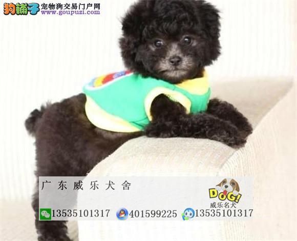 专业犬舍繁殖泰迪犬等小型犬、保证纯种包健康养死包换