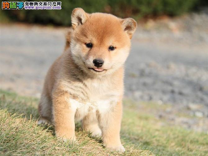新疆哪里有柴犬卖 新疆柴犬多少钱 新疆宠物狗狗买卖