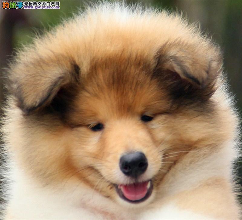 苏牧幼犬 纯种健康专业狗场繁殖