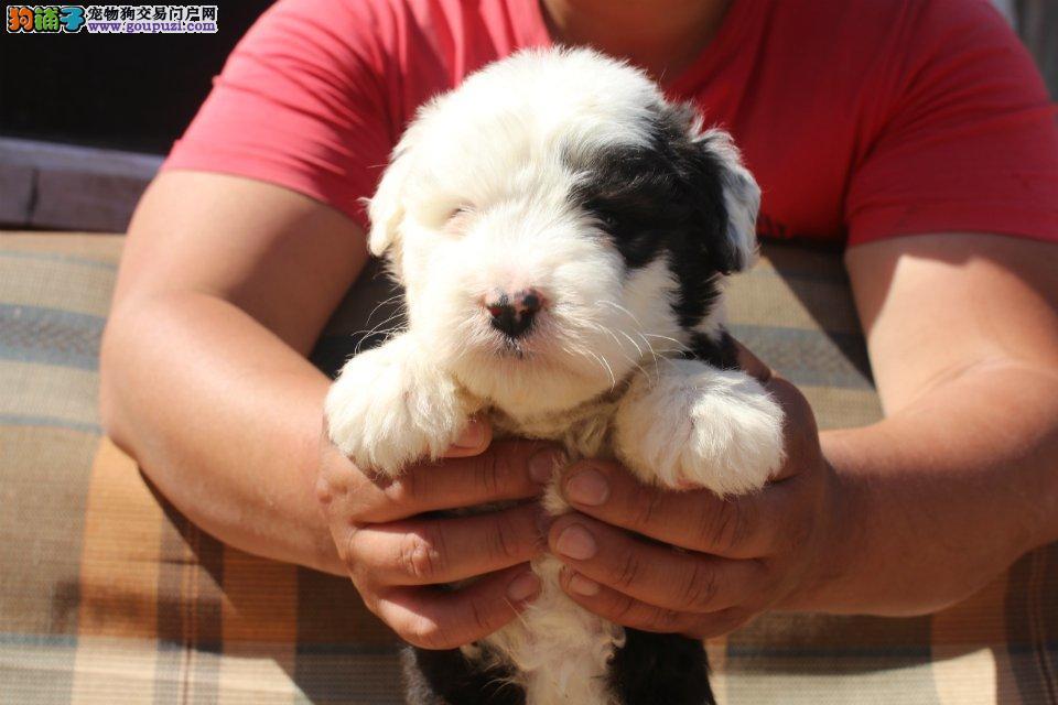 纯种英国古牧幼犬广州哪里有卖广州哪里有狗场卖狗
