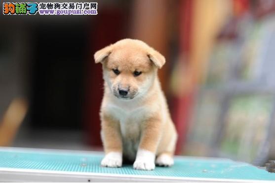 赛级柴犬幼犬,公母均有多只选择,诚信经营保障