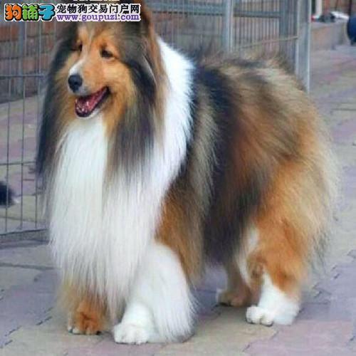 广东哪里卖纯种苏格兰牧羊犬超凡直销苏牧多窝有售后