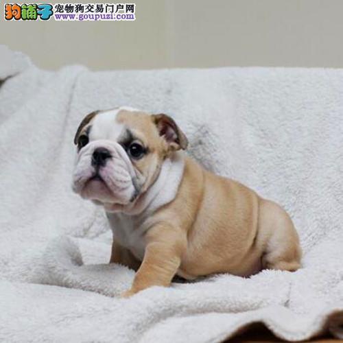 出售英国斗牛犬幼犬、真实照片视频挑选、喜欢加微信