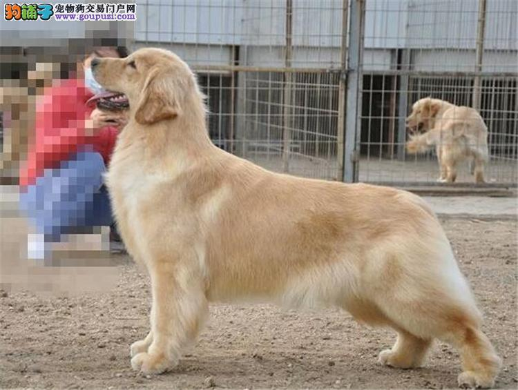 纯种金毛暖男犬 广州正规狗场专业繁殖金毛幼犬