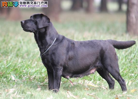 买纯种拉布拉多犬有没有便宜的又纯种的拉多 没有的