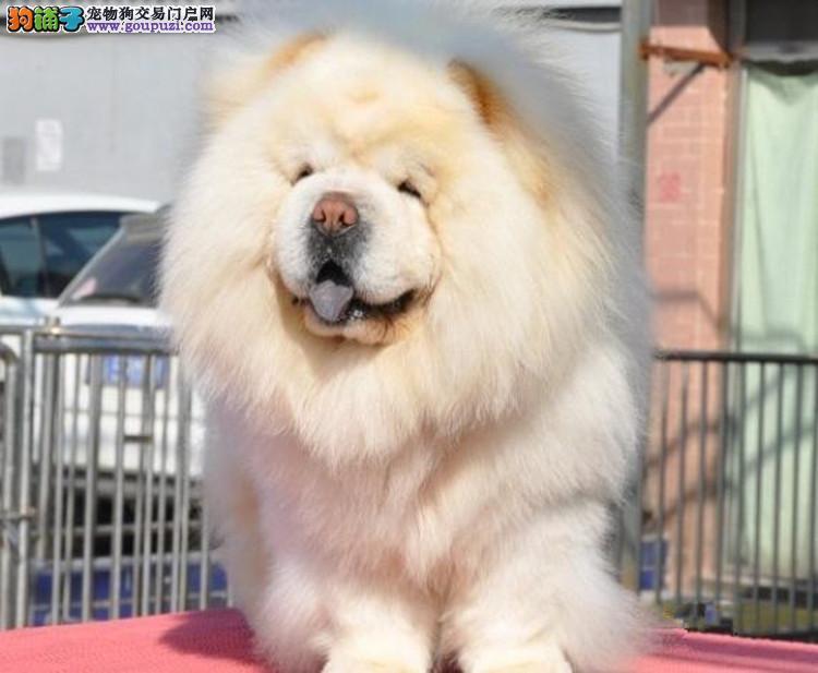 超凡出售健康有售后松狮犬 面包脸胖子松狮犬多少钱