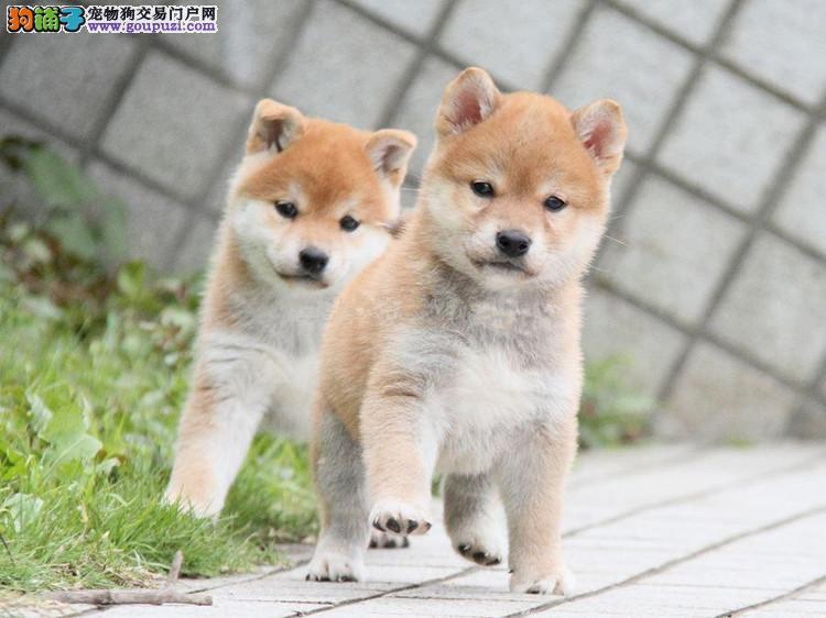 广东最大柴犬繁殖场 超凡犬舍出售纯种健康柴犬幼犬
