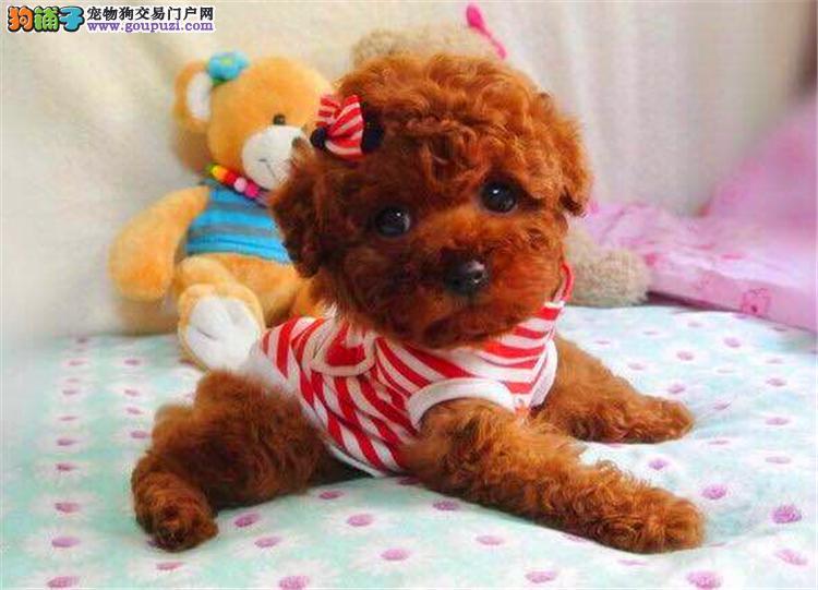 广东哪里买纯种茶杯犬 茶杯犬有没有便宜的又纯种