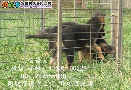 贵州哪里有卖狼狗的 小狼狗多少钱一条