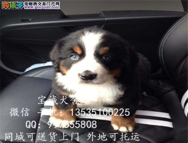 贵州哪里有卖伯恩山 贵州省伯恩山犬哪有卖的