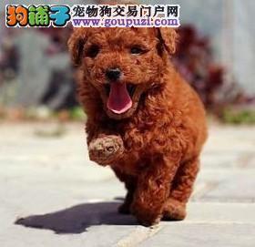 广州哪里有卖泰迪熊,广州哪里有狗场,泰迪图片