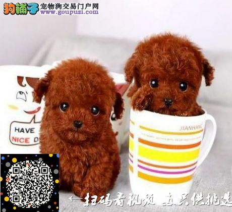 广州哪里有茶杯犬买/卖,茶杯犬多少钱,茶杯犬好养吗