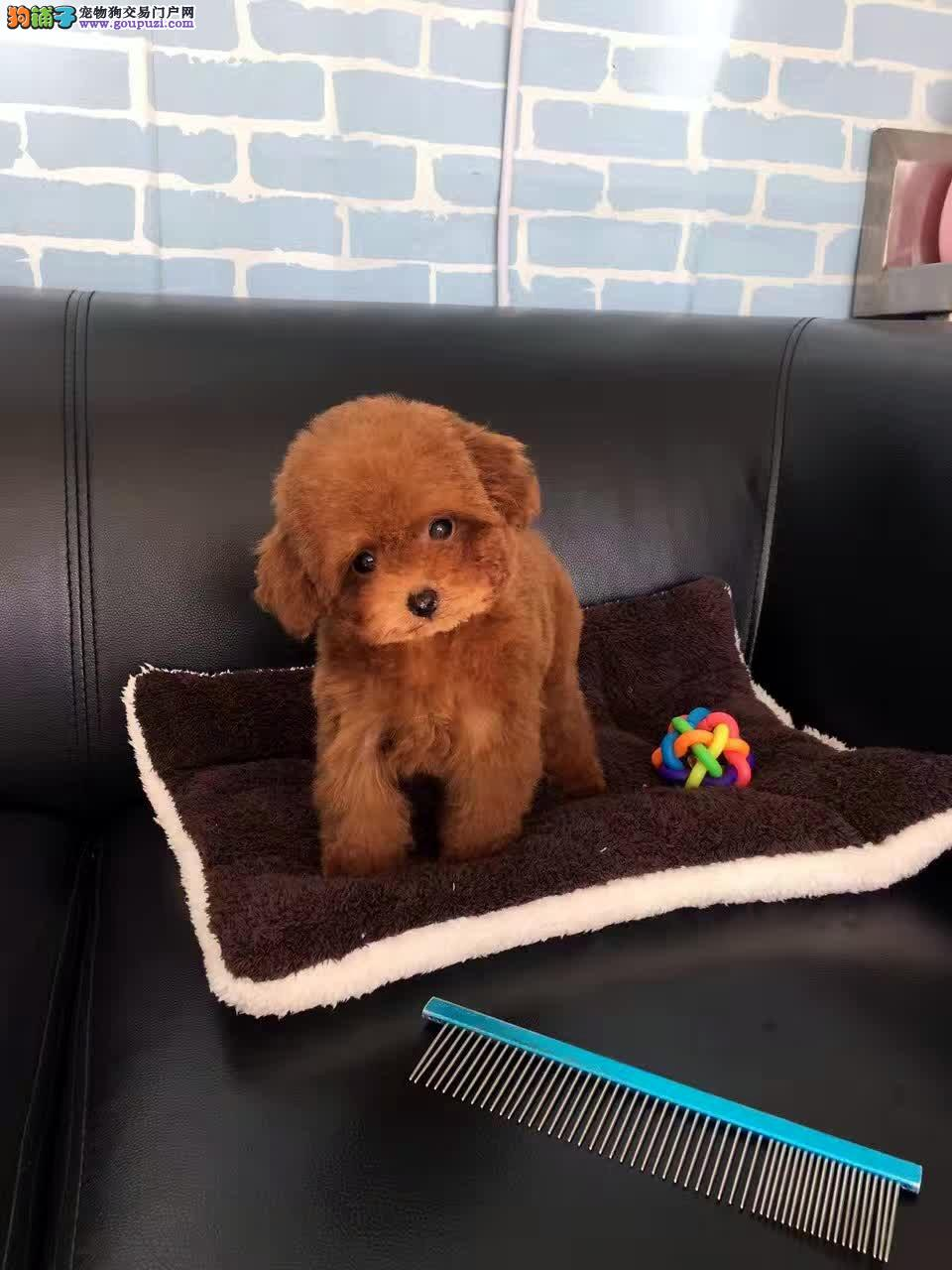 家养茶杯泰迪犬,幼犬出售!另有种公对外交配!