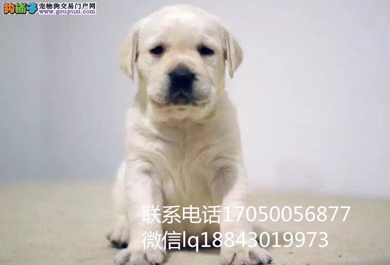 自家繁殖精品拉布拉多犬