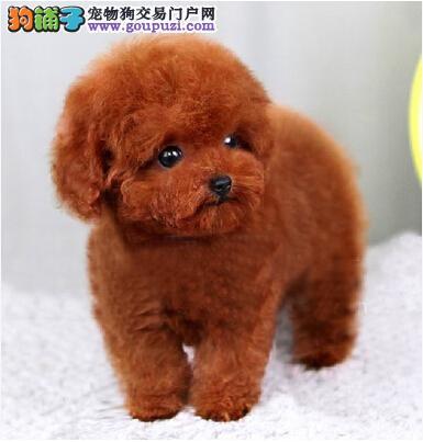 出售高品质泰迪幼犬 包健康