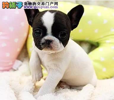 西安本地出售高品质法国斗牛犬宝宝狗贩子请绕行