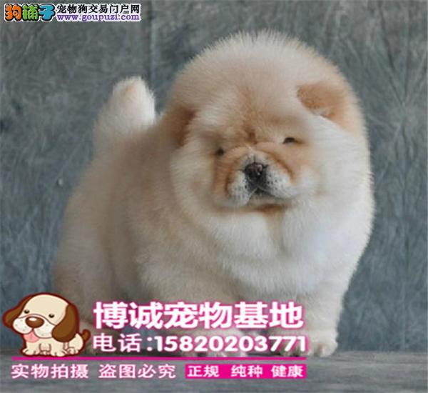 极品松狮幼犬、很憨厚、很可爱、毛茸茸、肉嘴、面包嘴