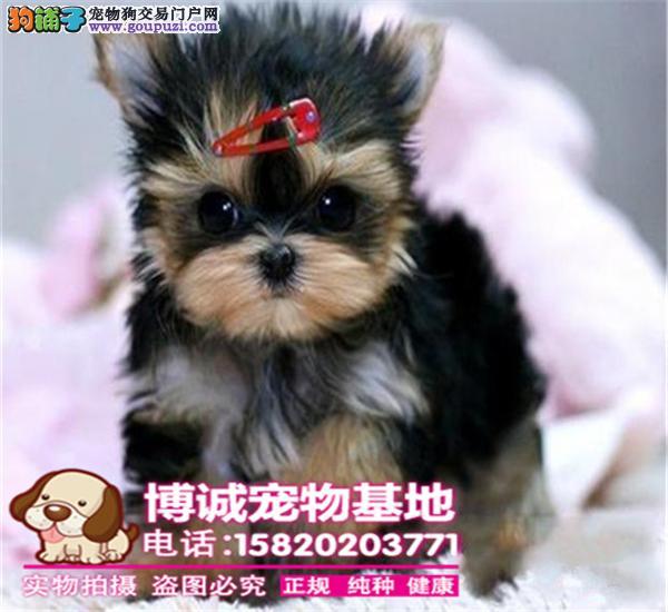 高品质小体金头银背约克夏幼犬出售、可签订质保协议