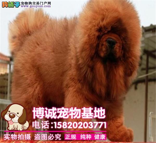 狮子头吊嘴藏獒犬出售、门神守护者、血统纯、品相极佳