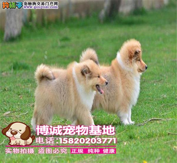 纯种苏格兰牧羊犬幼犬 、毛色靓 、体型佳、 两色三色